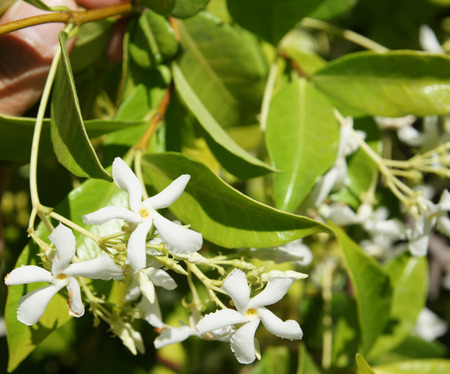 clusters: Star Jasmine, Trachelospermum jasminoides, evergreen woody liana with green opposite oval leaves and star shaped white flowers in clusters Stock Photo