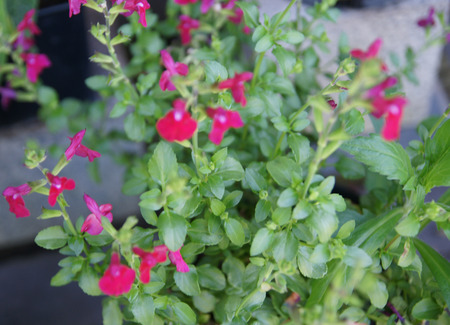 free speech: Salvia microphylla Free Speech, garden herb with opposite small green leaves and red flowers in clusters