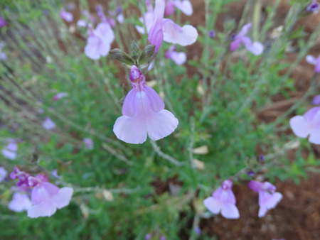 hardy: Salvia greggii Playa Rosa, hardy perennial herb with opposite leaves and light pink flowers with darker base.