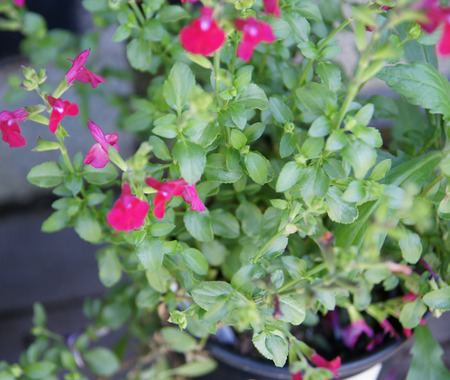 clusters: Salvia microphylla Free Speech, garden herb with opposite small green leaves and red flowers in clusters
