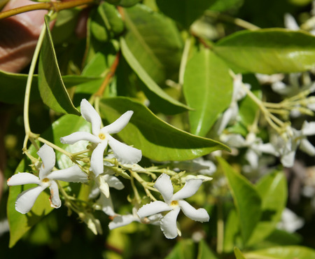 Star Jasmine, Trachelospermum jasminoides, evergreen woody liana with green opposite oval leaves and star shaped white flowers in clusters Фото со стока