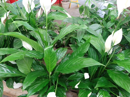 spadix: Spathyphyllum, perennial herb with large green basal leaves and spadix inflorescence with large white spathe.