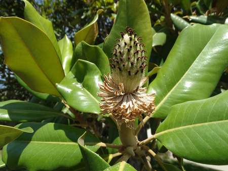 beneath: Magnolia grandiflora, Bull bay, Southern magnolia, evergreen tree with green leathery leaves, tomentose beneath and large solitary white fragrant flower