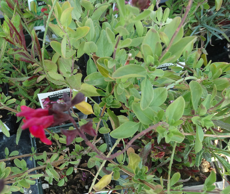 clusters: Salvia greggii Flame, small shrub with opposite green leaves and brilliant red flowers in clusters Stock Photo