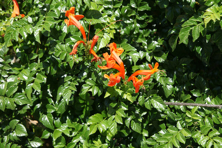 clusters: Tecoma capensis, Cape honeysuckle, evergreen shrub with green pinnate leaves and orange red tubular flowers in clusters Stock Photo
