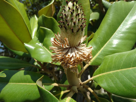 leathery: Magnolia grandiflora, Bull bay, Southern magnolia, evergreen tree with green leathery leaves, tomentose beneath and large solitary white fragrant flower