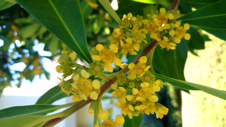 Tristaniopsis laurina, Water Gum, Kanooka, tree from Australia with green lanceolate leaves and yellow flowers, grown as avenue tree Stock Photo