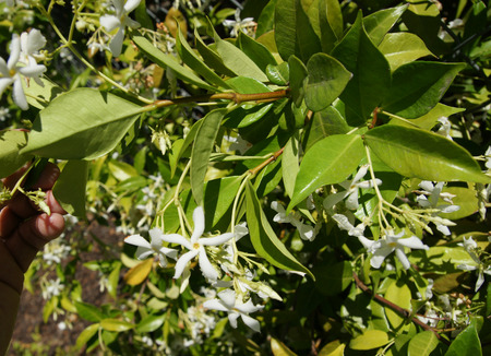 liana: Star Jasmine, Trachelospermum jasminoides, evergreen woody liana with green opposite oval leaves and star shaped white flowers in clusters Stock Photo