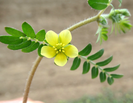 advancing: Tribulus terrestris, Caltrops, Devils thorn, trailing herb with pinnate compound leaves and yellow flowers in axils, fruits spiny, used in ancient warfare to puncture feet of advancing army Stock Photo