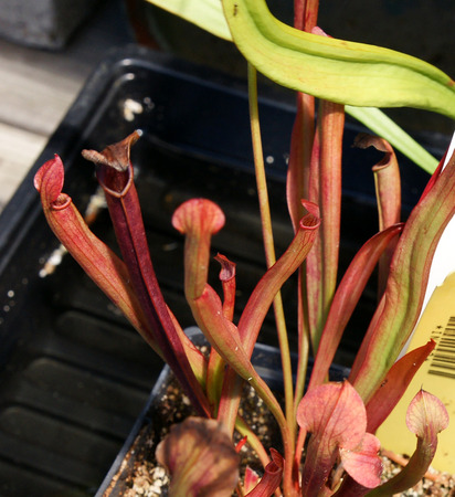 insectivorous plants: Sarracenia rubra, sweet pitcher plant, insectivorous plant with pitcher like leaves with red veins with lid, and red flowers