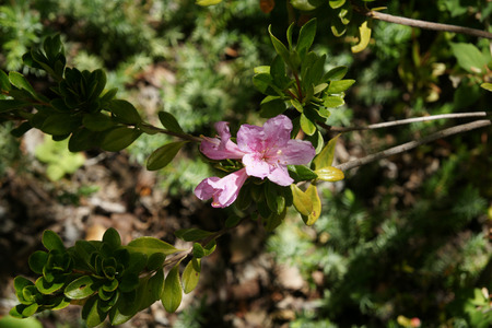 narrowly: Rhododendron eriocarpum, Gumpo azalea, shrub with 2-3 cm long narrowly obovate leaves and pale pink 5 cm across flowers