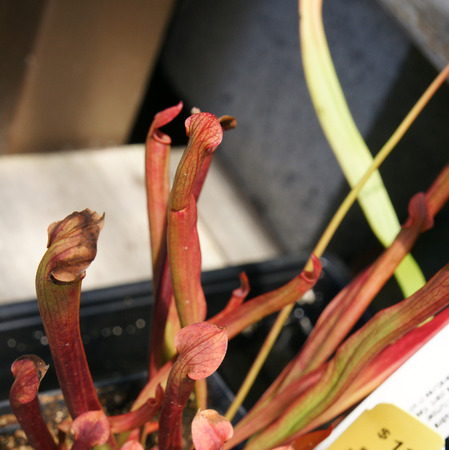 insectivorous: Sarracenia rubra, sweet pitcher plant, insectivorous plant with pitcher like leaves with red veins with lid, and red flowers