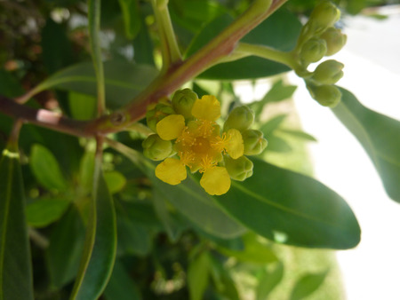 lanceolate: Tristaniopsis laurina, Water Gum, Kanooka, tree from Australia with green lanceolate leaves and yellow flowers, grown as avenue tree Stock Photo