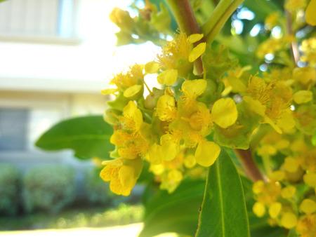 lanceolate: Tristaniopsis Laurina, Gum Acqua, Kanooka, albero dall'Australia con foglie lanceolate verdi e fiori gialli, coltivata come albero avenue Archivio Fotografico