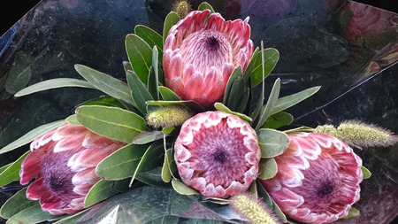 lanceolate: Queen Protea, protea magnifica, shrub with grey green lanceolate to oblong leaves and attractive  pink flowers with woolly center Stock Photo