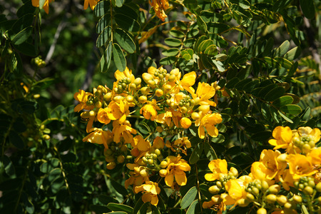 leaflets: Golden Senna, Senna candolleana, Golden Cassia, small tree with pinnate leaves with several small leaflets, golden yellow flowers in large clusters and up to 10 cm long fruits