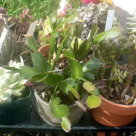 truncated: Schlumbergera truncata, Christmas cactus, native of Mexico with flattened green stems, cladodes with teeth along edges and upper end, the ends truncated