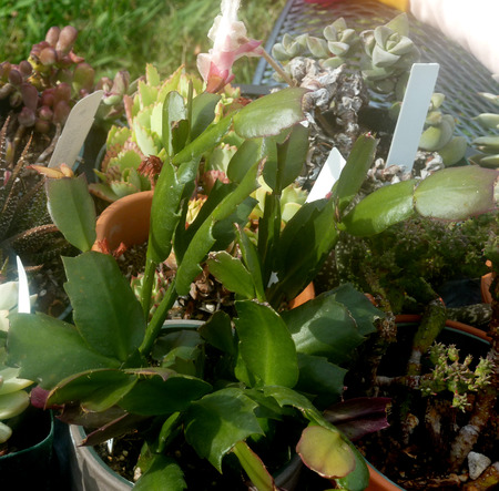 flattened: Schlumbergera truncata, Christmas cactus, native of Mexico with flattened green stems, cladodes with teeth along edges and upper end, the ends truncated