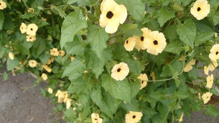 eyeing: Thunbergia alata Lemon Star, Yellow Black Eyed Susan Vine, evergreen vine with heart shaped leaves and lemon yellow flowers with black center Stock Photo