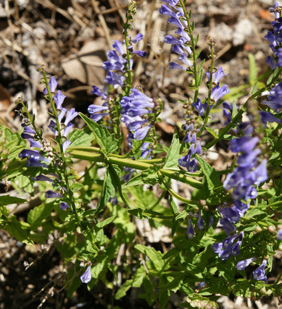 Scutellaria barbata, barbed skullcap, perennial herb with opposite slightly toothed leaves and purple blue flower, used to cure cancer.