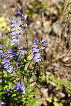 skullcap: Scutellaria barbata, barbed skullcap, perennial herb with opposite slightly toothed leaves and purple blue flower, used to cure cancer.