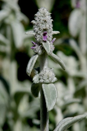 the silvery: Stachys byzantina, lambs-ear, Perennial herb with silvery white lanate stems and leaves and white to pink flowers in terminal spikes.