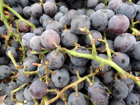 easily: Vitis labrusca Concord, Concord grapes, cultivar with purple to dark blue fruits, covered with white bloom, aromatic with large seeds, skin easily separated