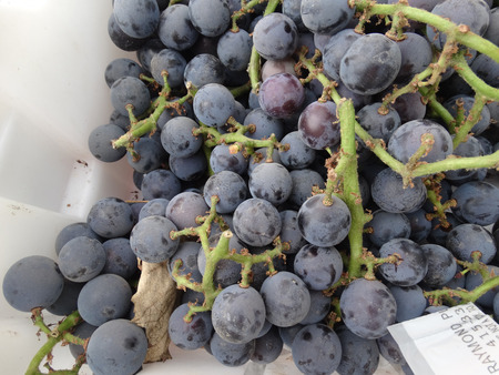 concord grape: Vitis labrusca Concord, Concord grapes, cultivar with purple to dark blue fruits, covered with white bloom, aromatic with large seeds, skin easily separated