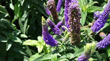 lanceolate: Veronica longifolia First Lady Purple, Tall speedwell, tall perennial herb with opposite elliptic lanceolate leaves and purple flowers in terminal spikes