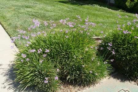 clusters: Tulbaghia violacea, society garlic, pink agapanthus, perennial herb with linear leaves and purple flowers in umbellate clusters on long stalk