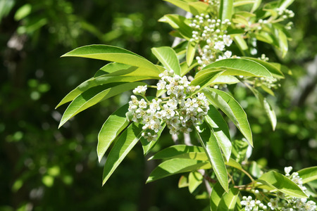 commonly: Photinia niitakayamensis commonly sold under the name Stranvaesia niitakayamensis, shrub with shining green leaves, white flowers and orange red fruits