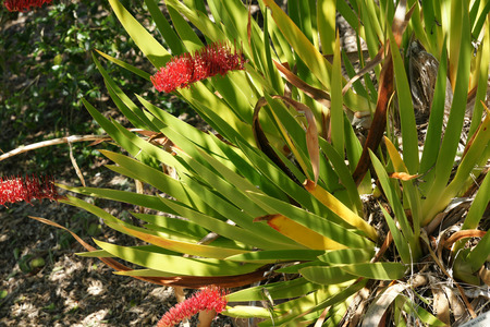 sided: Xeronema callistemon, Poor Knights Lily, herb with sword shaped leaves and red bottlebrush like one sided flowers on long stalk
