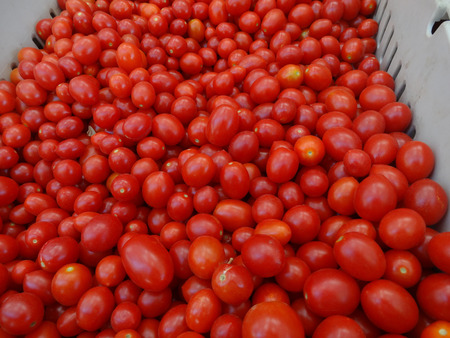 globose: Solanum lycopersicum, tomato, cultivated vegetable crop with globose red fruits when ripe, used in soups, squashes and cooked vegetables