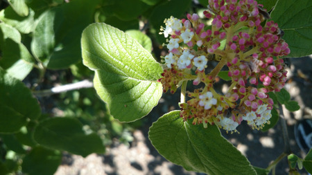beneath: Viburnum cotinifolium, deciduous shrub from Himalayas with silvery grey leaves above, white beneath, wrinkled, flowers white to pink in flat topped corymbs Stock Photo