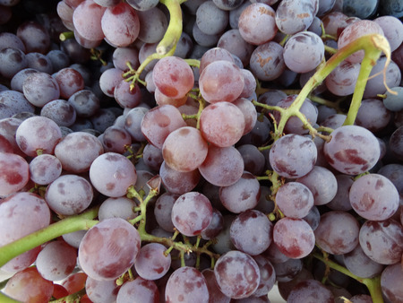 concord grape: Thomcord grapes, hybrid of Thompson and Concord grapes, Vitis vinifera x V. labrusca combining the sweet taste of former and flavor of latter