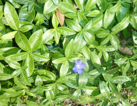 leathery: Vinca minor, lesser periwinkle, dwarf periwinkle, trailing perennial herb with leathery green leaves and axillary blue flowers Stock Photo