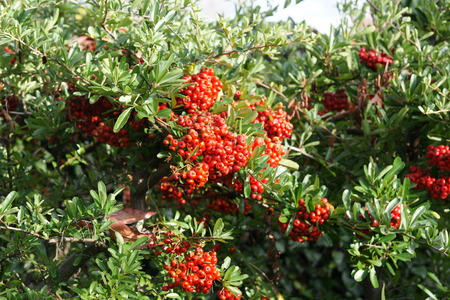 elliptic: Pyracantha koidzumii, Taiwan Firethorn, shrub with green elliptic obovate leaves, almost entire, white flowers in flat topped clusters and orange red fruits