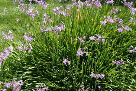 Tulbaghia violacea, society garlic, pink agapanthus, perennial herb with linear leaves and purple flowers in umbellate clusters on long stalk