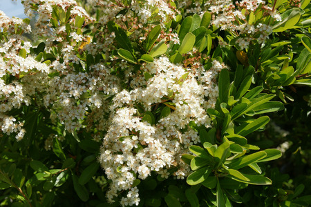 entire: Pyracantha koidzumii, Taiwan Firethorn, shrub with green elliptic obovate leaves, almost entire, white flowers in flat topped clusters and orange red fruits