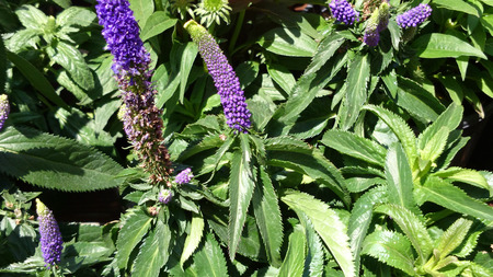 elliptic: Veronica longifolia First Lady Purple, Tall speedwell, tall perennial herb with opposite elliptic lanceolate leaves and purple flowers in terminal spikes