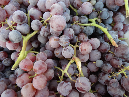 latter: Thomcord grapes, hybrid of Thompson and Concord grapes, Vitis vinifera x V. labrusca combining the sweet taste of former and flavor of latter