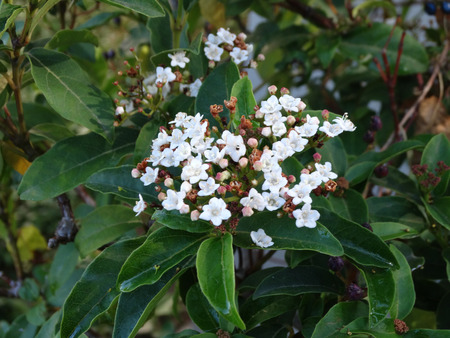 Viburnum tinus, Laurustinus Viburnum, shrub or small tree with ovate to elliptic dark green leaves, white flowers and dark blue black fruits Stock Photo