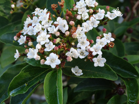 elliptic: Viburnum tinus, Laurustinus Viburnum, shrub or small tree with ovate to elliptic dark green leaves, white flowers and dark blue black fruits Stock Photo
