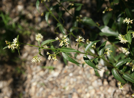 lanceolate: Vincetoxicum hirundinaria, White swallow-wort, herbaceous perennial with shining green lanceolate leaves and white flowers, used for treatment of dropsy, boils and pimples