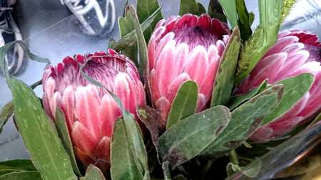 woolly: Queen Protea, protea magnifica, shrub with grey green lanceolate to oblong leaves and attractive pink flowers with woolly center