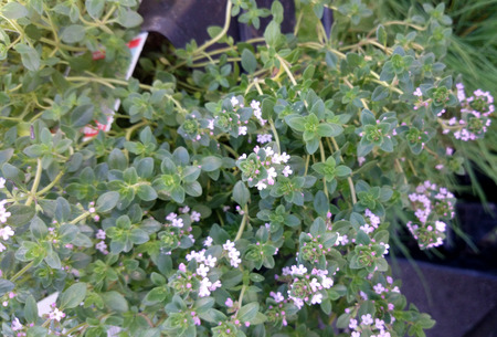 Thymus citridorus, Lemon thyme, mat forming lemon scented perennial herb with small opposite leaves and pink to lavender flowers in terminal dense clusters, used as flavoring and in medicine