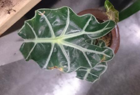 animal vein: Amazon elephants ear, Alocasia amazonica, Rhizomatous perennial house plant with thick hastate dark green leaves with pale white major veins