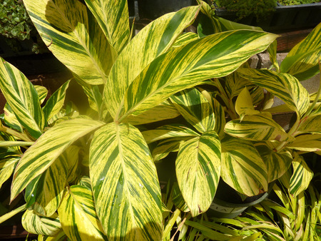 variegated: Variegated light galangal, variegated shell-ginger, Alpinia zerumbet Variegata, ornamental plant with underground rhizome and large ovate-lanceolate leaves, variegated with yellow patches.