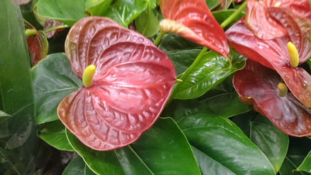 spadix: Anthurium andraeanum Lady Jane, perennial herb with large dark red heart shaped spathes and yellow tail like spadix, tropical house plant.