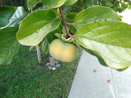 globose fruits: Fuyu persimon, Diospyros kaki, evergreen tree producing orange-yellow depressed globose fruits persistent calyx, nonastringent when young, sweet when ripe Stock Photo